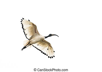 White Ibis in flight - A white Ibis flying in the air with...