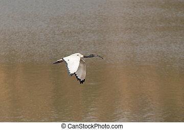 White Ibis in flight - White Ibis flying over lake Kuriftu...