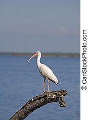 Ibis - White Ibis