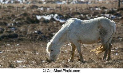 White Icelandic horse withstands th