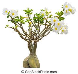 White impala lily flower - Little white impala lily flower ...