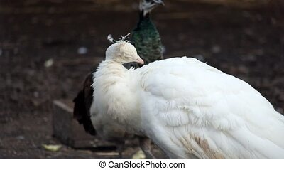 White Indian peafowl cleans its feathers (Pavo cristatus)