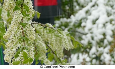 White inflorescences freeze during a snowfall - White small...