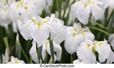 white iris flower on flower bed