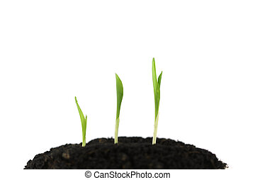 White isolated Corn sprout plant growing