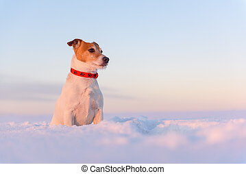White jack russel terrier puppy on snowy field at sunrise. Adult dog with serious gaze