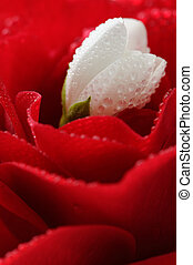 White Jasmine Flower and Red Rose with Water Drops