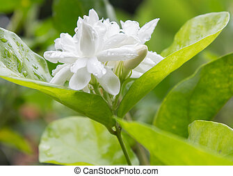White Jasmine Flower, close-up