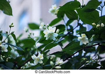 White jasmine flower on a branch with green leaves
