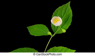 White Jasmine Flower Opening - Blooming Time Lapse of White...