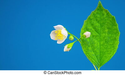 White Jasmine Flower Opening
