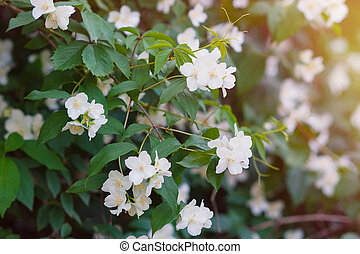 White jasmine flowers on a tree in the park.