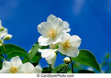 White Jasmine flowers on blue sky background.