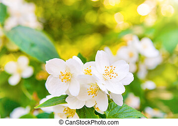 White jasmine flowers with green leaves over bright shining ...