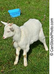 White kid goat