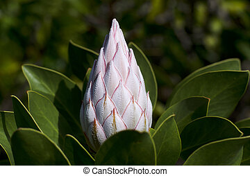 White king protea flower