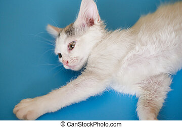 White kitten on a blue background.