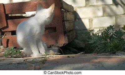 white kitten sitting licking himself outdoors slow motion...