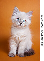 White kitten with blue eyes on an orange background