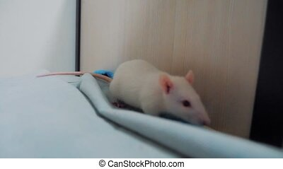 white laboratory rat background. white mouse rat running...