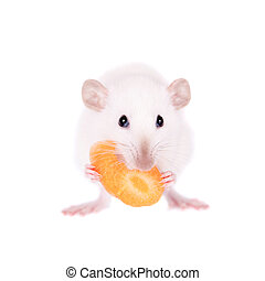 White laboratory rat eating carrot isolated on white...