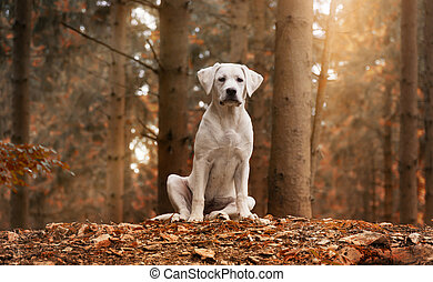 White Labrador dog puppy sitting in forest with autumn colours