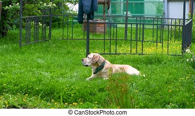 white labrador lies on the grass and nibbles stick - white ...