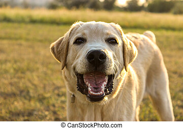 White Labrador on the background of the rural landscape