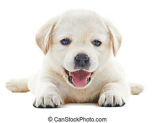 one white little labrador retriever puppy dog of one month on white background
