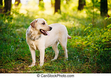 White Labrador Retriever Dog Playing Outdoor In Green Grass, Forest Park