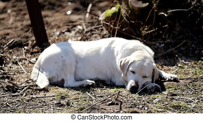 White labrador retriever sleeping