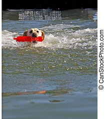 A female White Labrador dog retrieving toy from pool