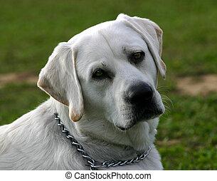 white labrador - white purebreed labrador retriever