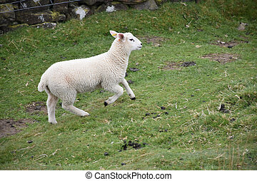 White Lamb Running Up a Small Hill in a Field