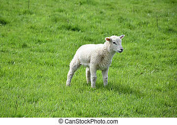 White Lamb Standing in a Grass Field in the Spring