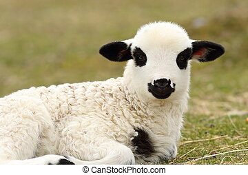 white lamb standing on green lawn