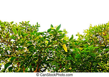 White lemon blossoms
