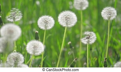White lifestyle fluffy dandelions, natural field dandelions...