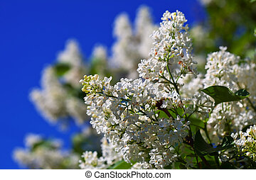 White lilac against blue sky