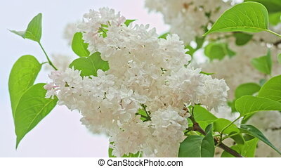 White Lilac Branch - White lilac branch. Close-up macro shot
