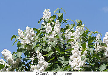 White lilac bush on a background