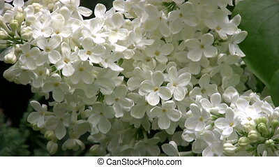 White lilac - close up.