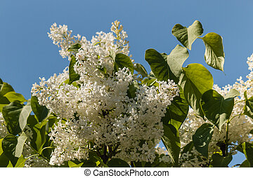 white lilac flowers against sky