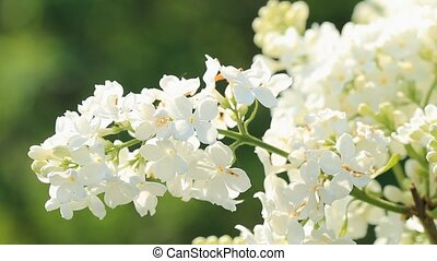 White lilac flowers bloomed in the spring morning