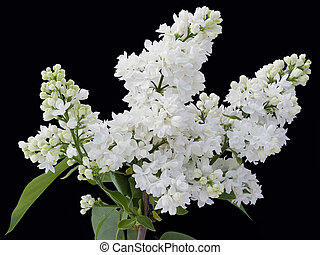 White lilac isolated on black - The branch of a white lilac...