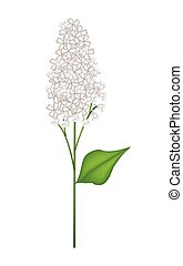 White Lilac or Syringa Vulgaris on White Background