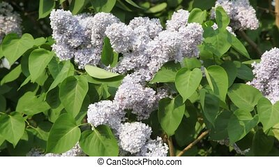 White lilac swaying in wind - closeup of white lilac swaying...