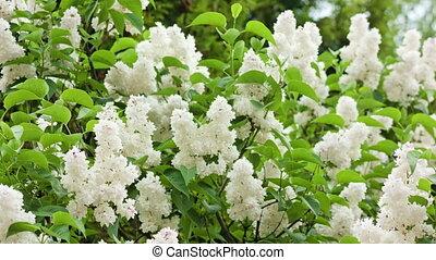 White Lilac Trees