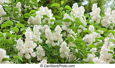 White Lilac Trees - White lilac trees. Close-up shot