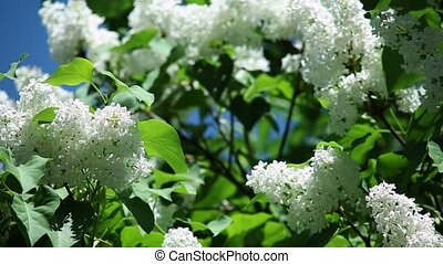 white lilac with fresh green leaves on a branch against a...